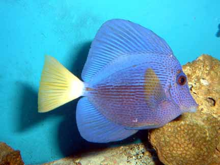 Purple Sailfin Tang
