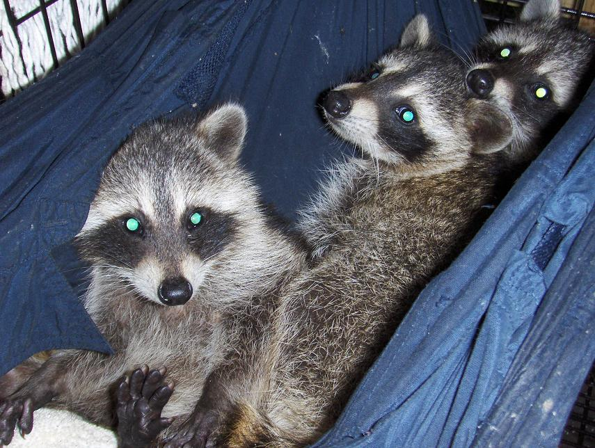 racoons_30_