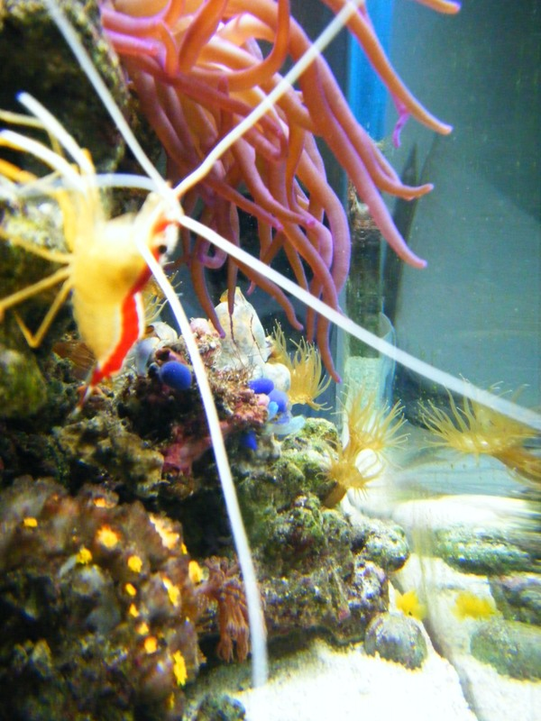 red and white shrimp,  blue tunicate