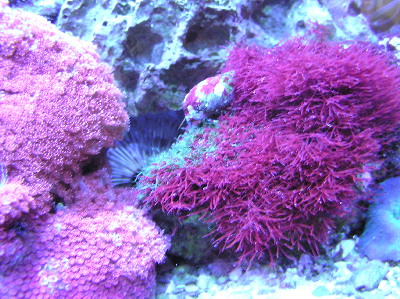 red gonipora and macro