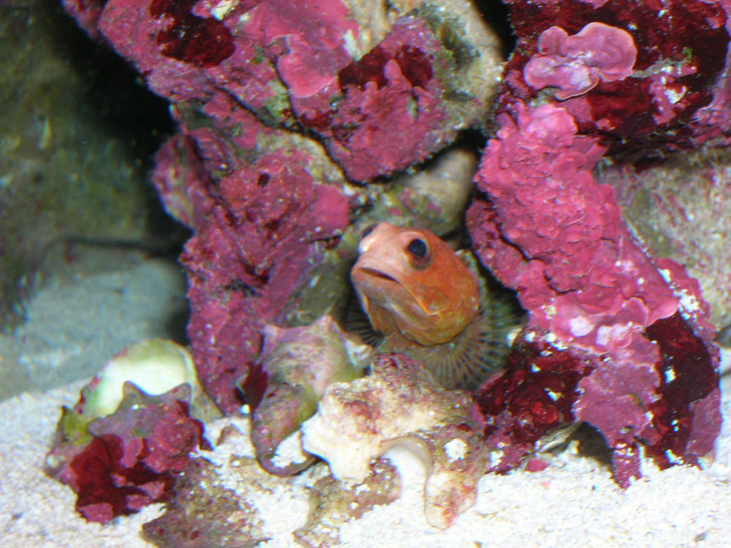 Red Headed Jawfish