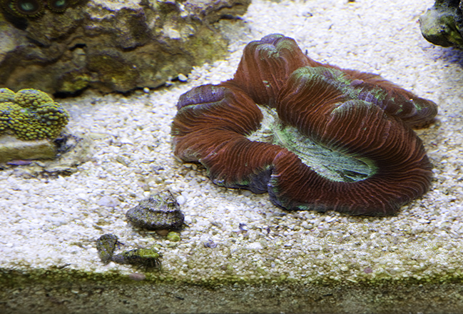 Red, Purple and Green Brain Coral