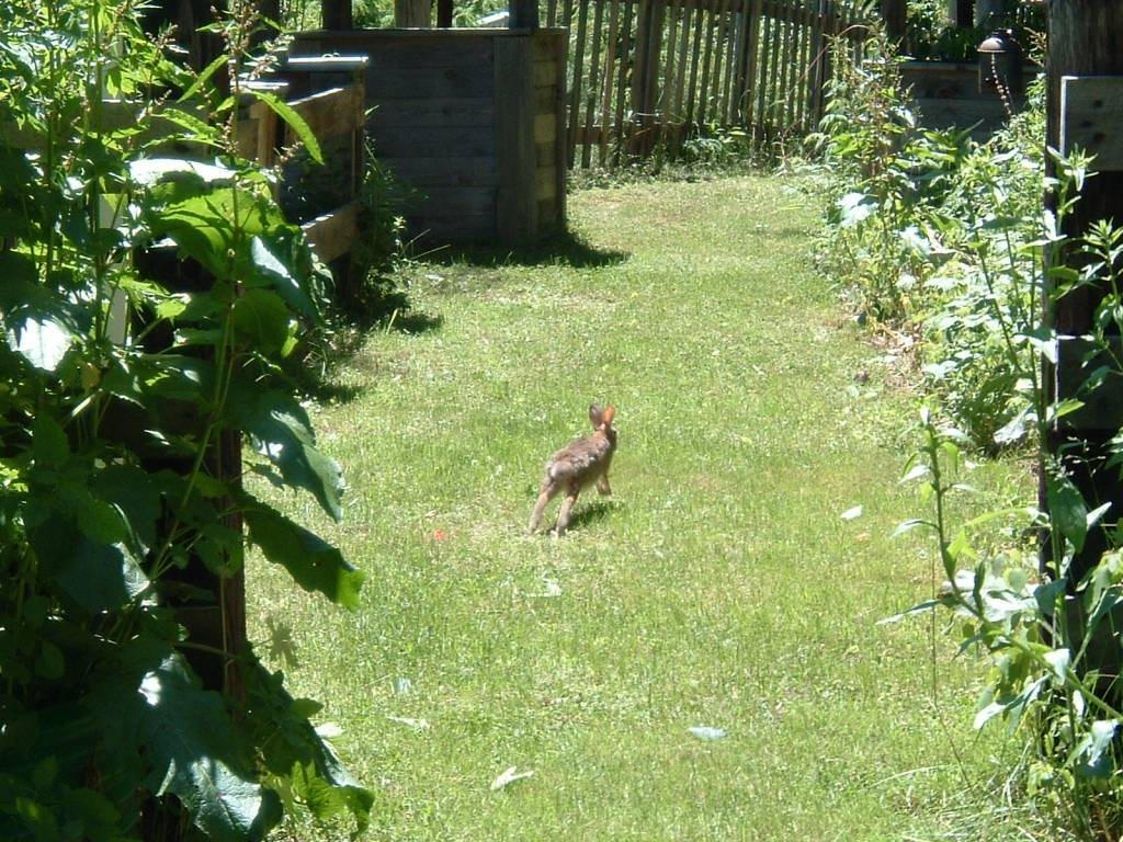 Running Cottontail