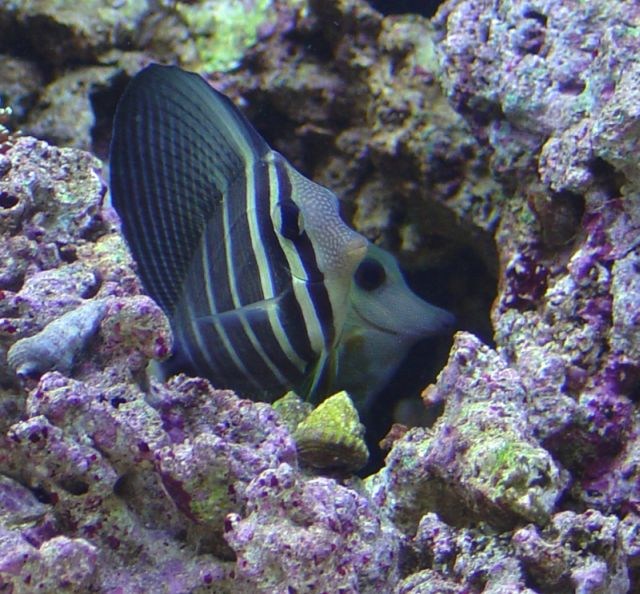 sailfin_and_scopus