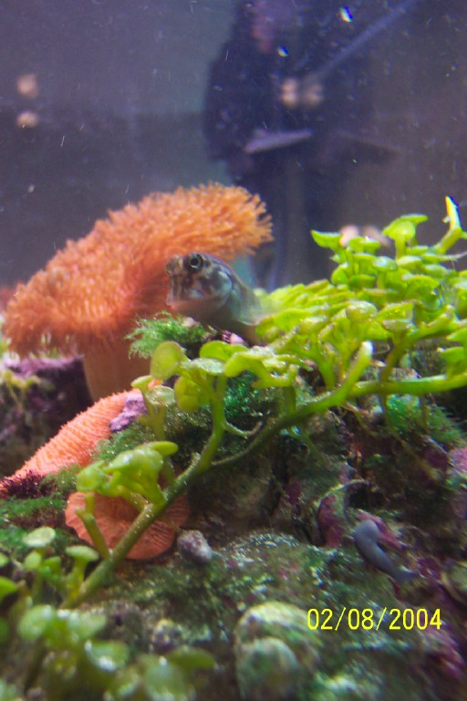 Satchmo the Red Lipped Blenny