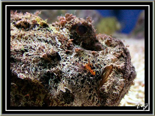 Stonefish at New England Aquarium