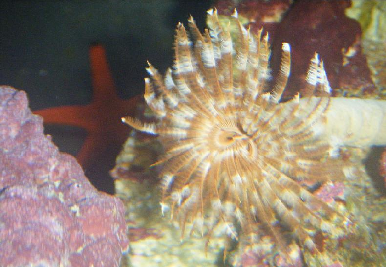 Tube worm and red star