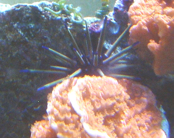 Unknown Urchin Front