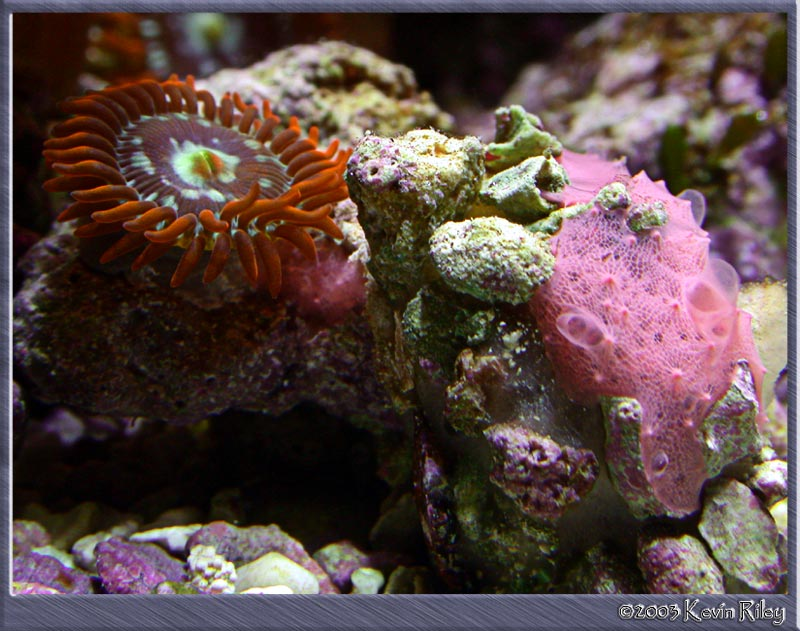 Zoanthid and sponge