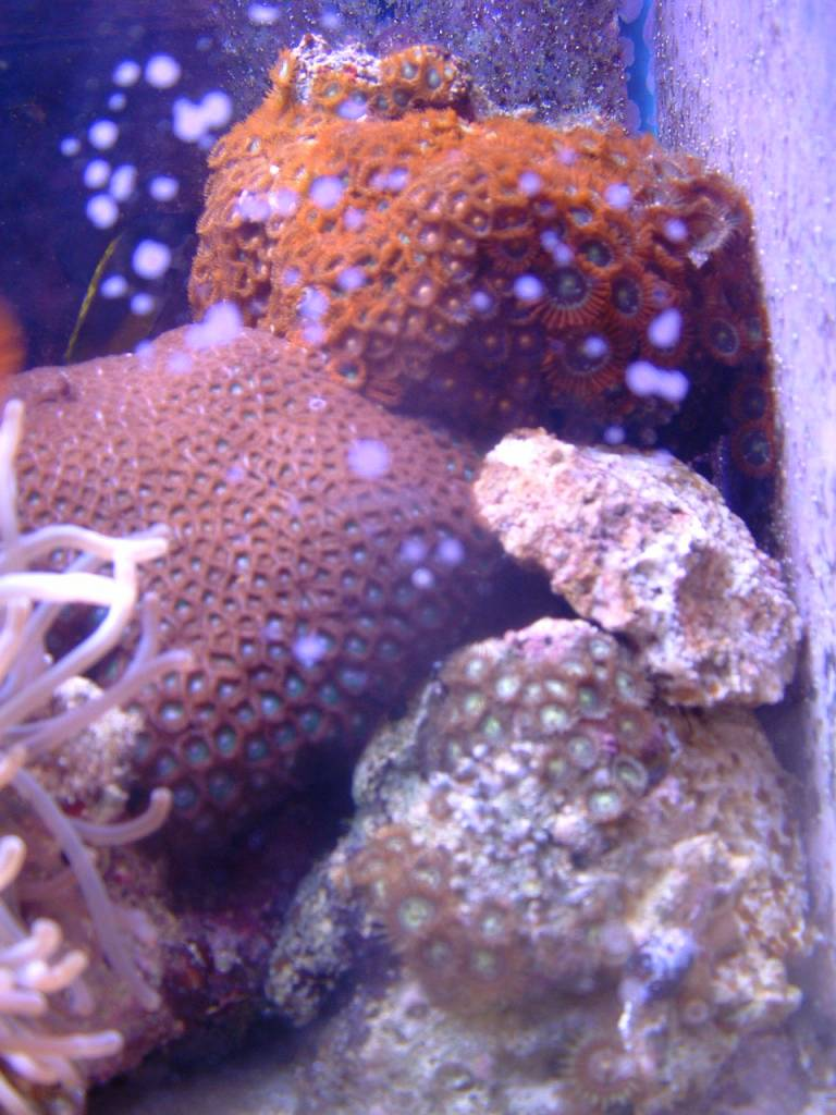 Zoanthid Brood Stock