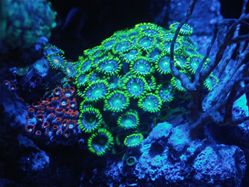 zoas under moonlight leds