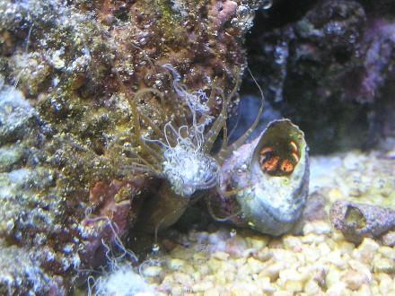 joes kills aiptasia dead reef sanctuary