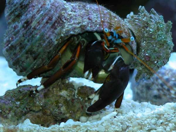Hermit crab giving a piggy back to a Spiny Astrea Snail